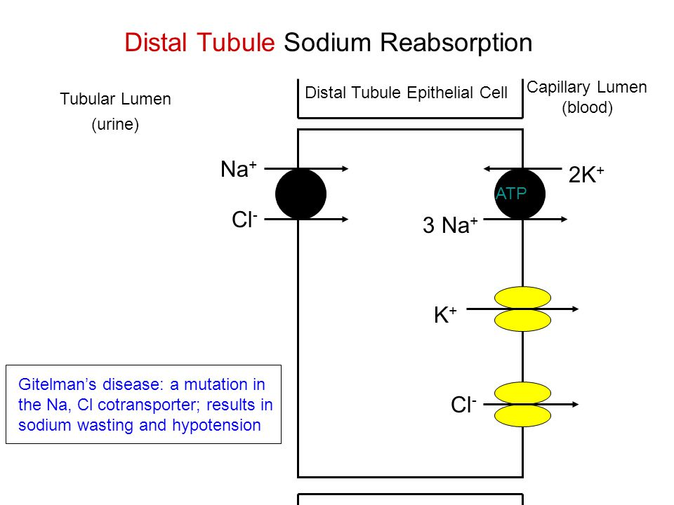 ATP Tubular Lumen (urine) 2K + 3 Na + Na + Cl - Distal Tubule Sodium Reabsorption Capillary Lumen (blood) K+K+ Distal Tubule Epithelial Cell Gitelman's disease: a mutation in the Na, Cl cotransporter; results in sodium wasting and hypotension