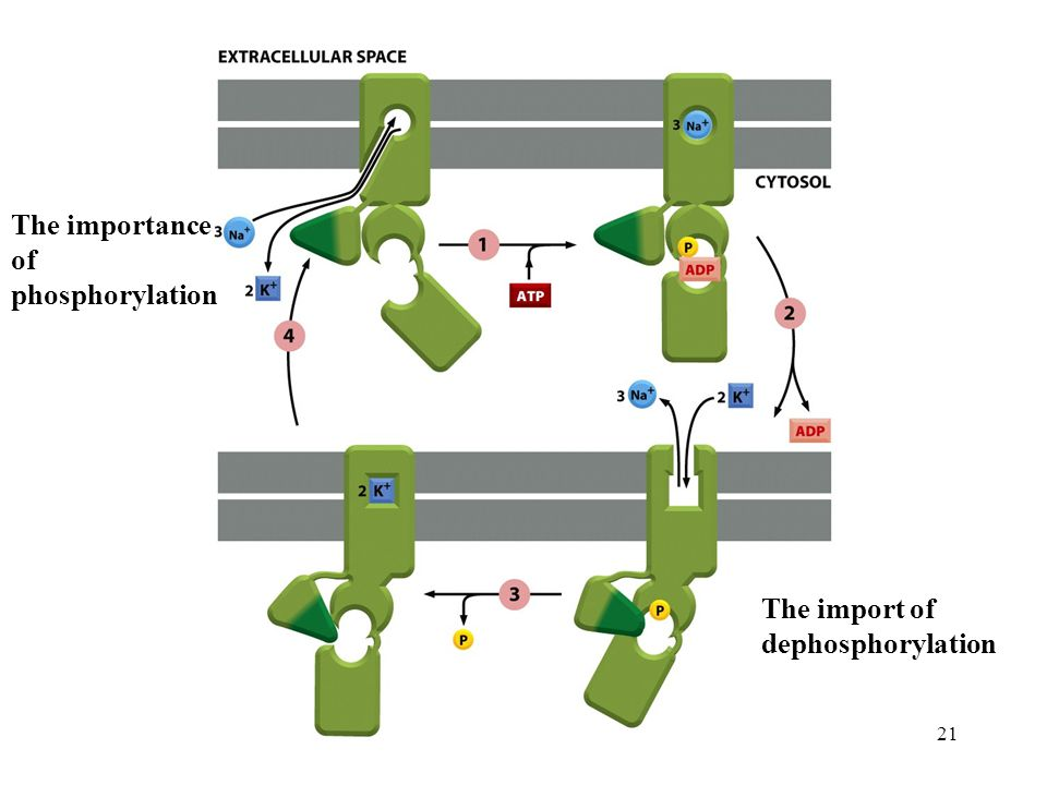 21 The importance of phosphorylation The import of dephosphorylation