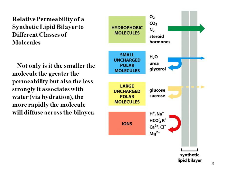 Relative Permeability of a Synthetic Lipid Bilayer to Different Classes of Molecules Not only is it the smaller the molecule the greater the permeability but also the less strongly it associates with water (via hydration), the more rapidly the molecule will diffuse across the bilayer.