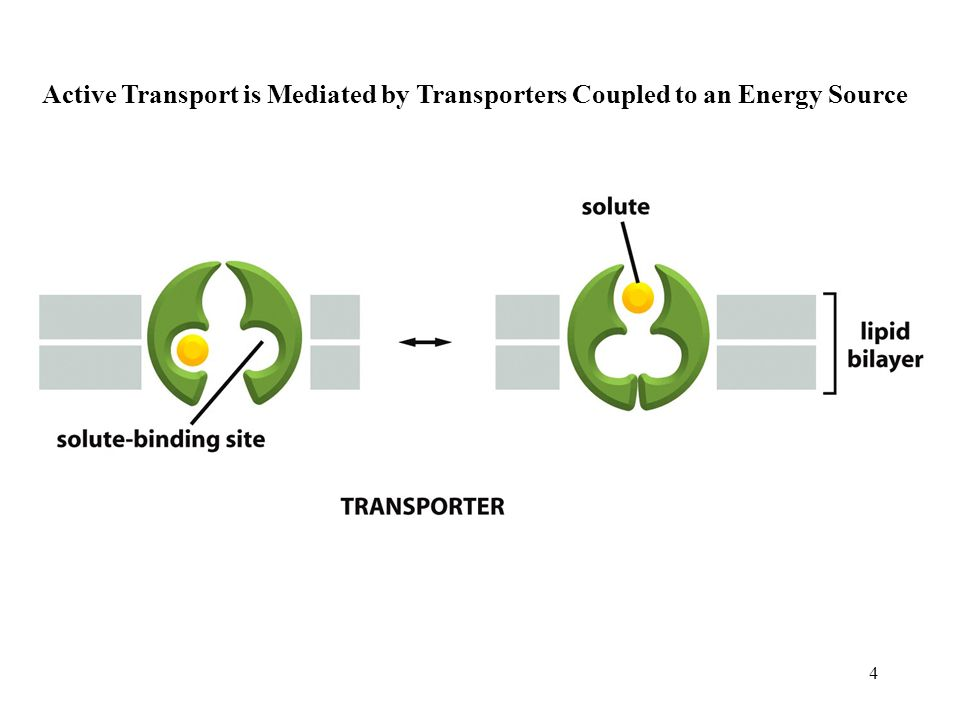 4 Active Transport is Mediated by Transporters Coupled to an Energy Source