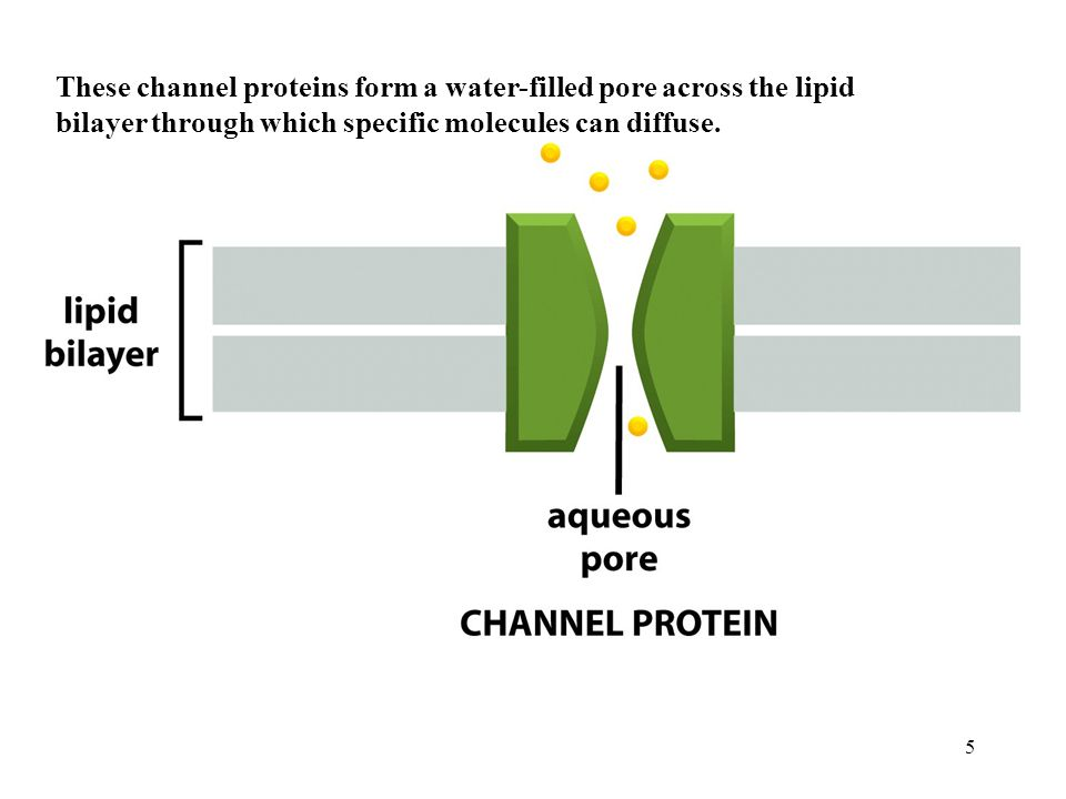 5 These channel proteins form a water-filled pore across the lipid bilayer through which specific molecules can diffuse.