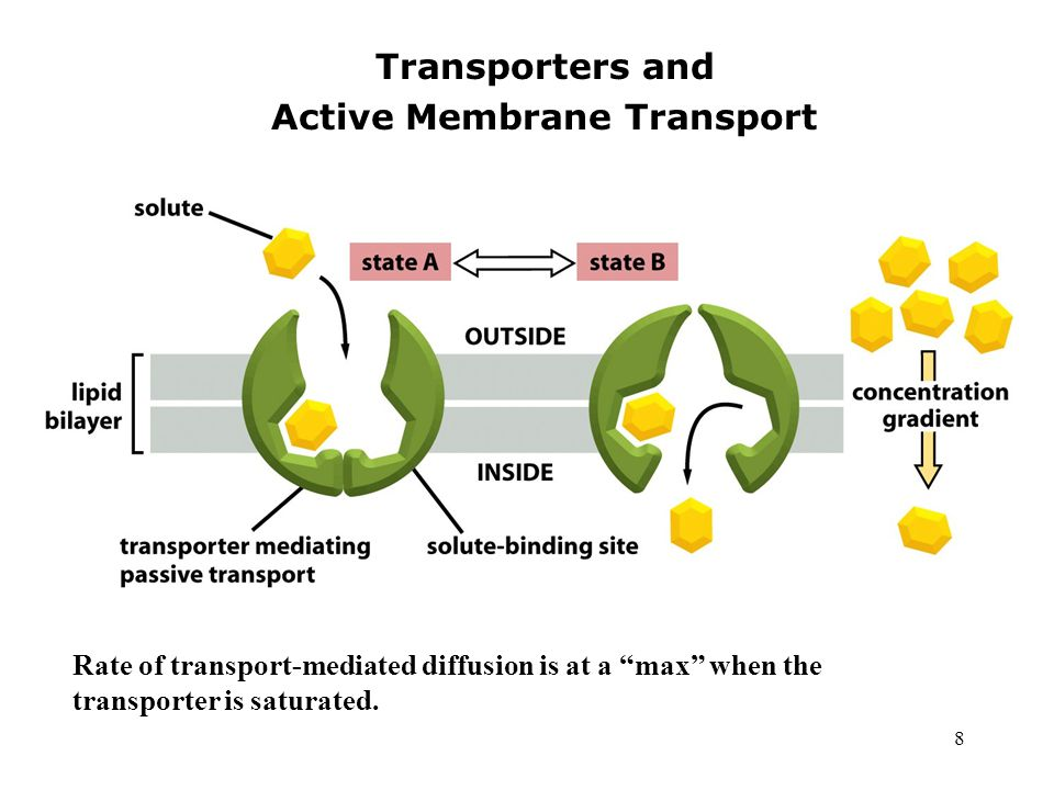 8 Transporters and Active Membrane Transport Rate of transport-mediated diffusion is at a max when the transporter is saturated.