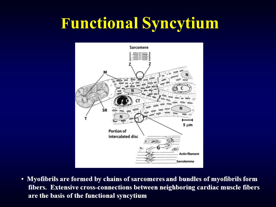 F unctional Syncytium Myofibrils are formed by chains of sarcomeres and bundles of myofibrils form fibers. Extensive cross-connections between neighbo