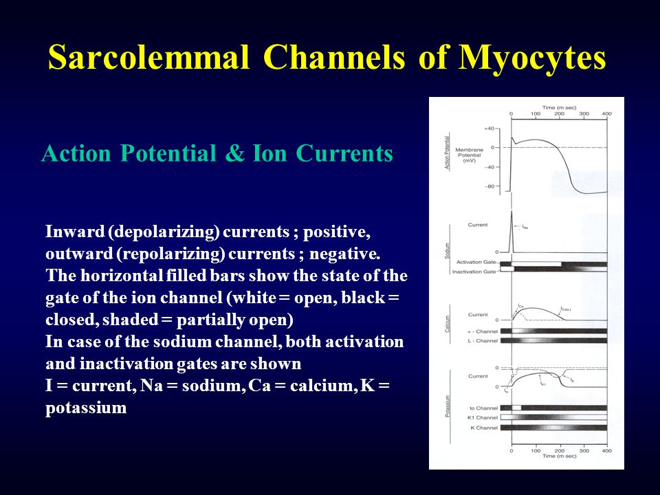 Sarcolemmal Channels of Myocytes Action Potential & Ion Currents Inward (depolarizing) currents ; positive, outward (repolarizing) currents ; negative