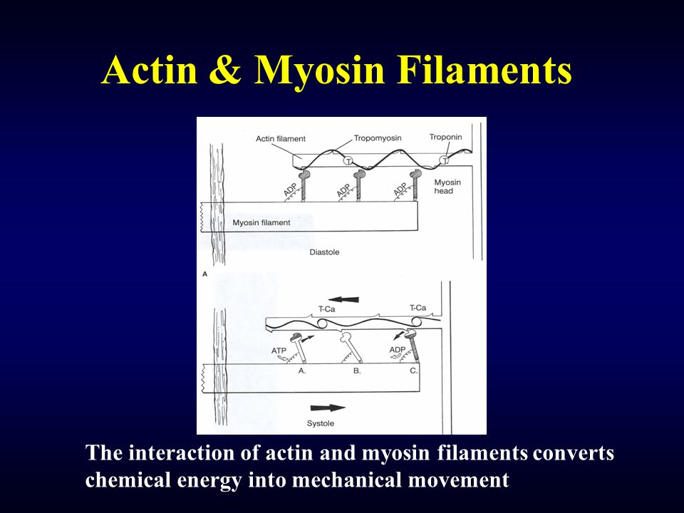 Actin & Myosin Filaments The interaction of actin and myosin filaments converts chemical energy into mechanical movement