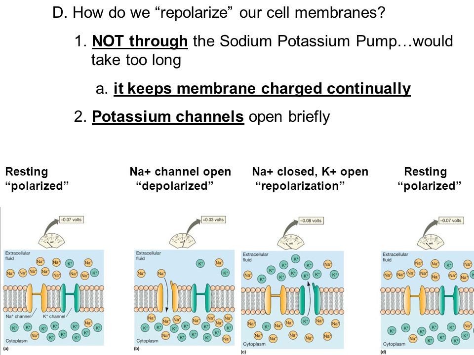 "C. Now that the electrical gradient is established, how is it used? 1. Cell's ""resting membrane potential"" is -70mV 2. Depolarizing a cell: 1. enables"