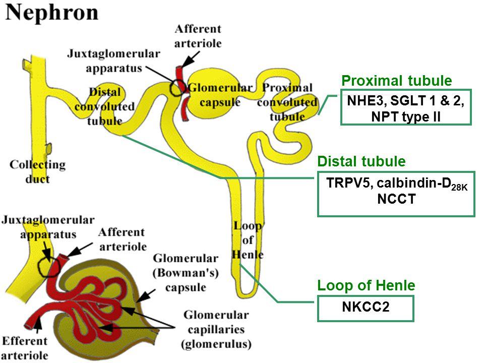 NHE3, SGLT 1 & 2, NPT type II Proximal tubule TRPV5, calbindin-D 28K NCCT Distal tubule NKCC2 Loop of Henle