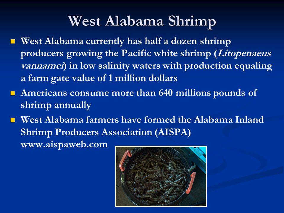 West Alabama Shrimp West Alabama currently has half a dozen shrimp producers growing the Pacific white shrimp (Litopenaeus vannamei) in low salinity w