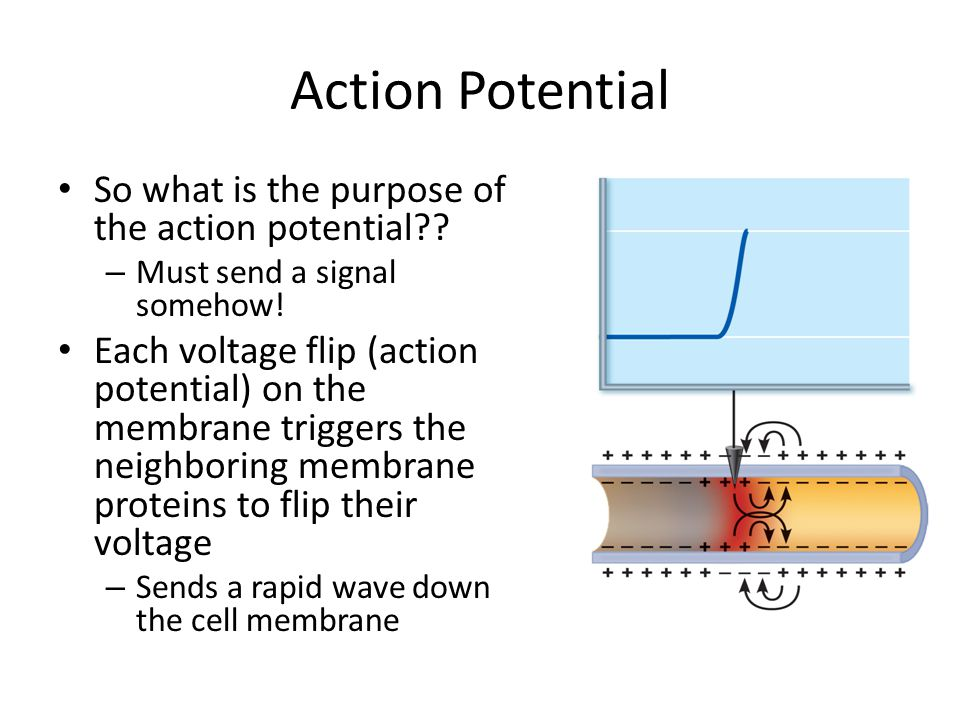 Action Potential So what is the purpose of the action potential?? – Must send a signal somehow! Each voltage flip (action potential) on the membrane t