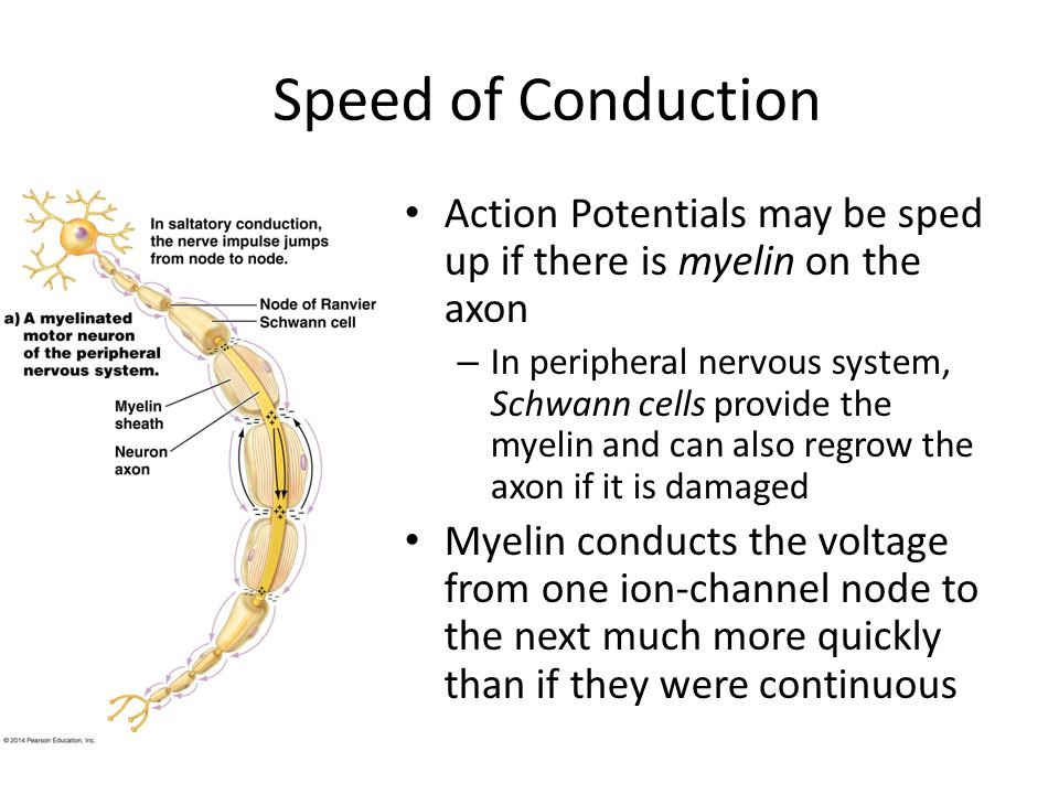 Speed of Conduction Action Potentials may be sped up if there is myelin on the axon – In peripheral nervous system, Schwann cells provide the myelin a