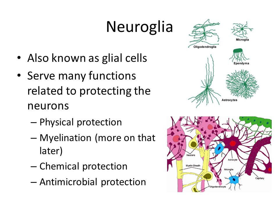 Neurons There are three classifications of neurons – Sensory Neurons – Interneurons – Motor Neurons Interneurons form the central nervous system (CNS) Sensory and motor neurons form the peripheral nervous system (PNS)