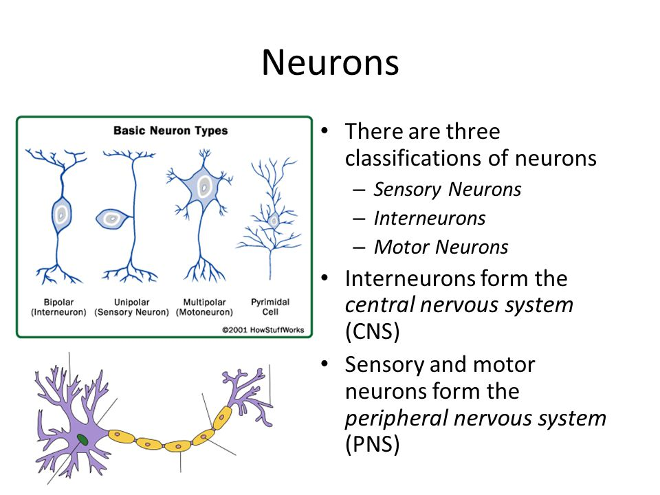 Neurons There are three classifications of neurons – Sensory Neurons – Interneurons – Motor Neurons Interneurons form the central nervous system (CNS)