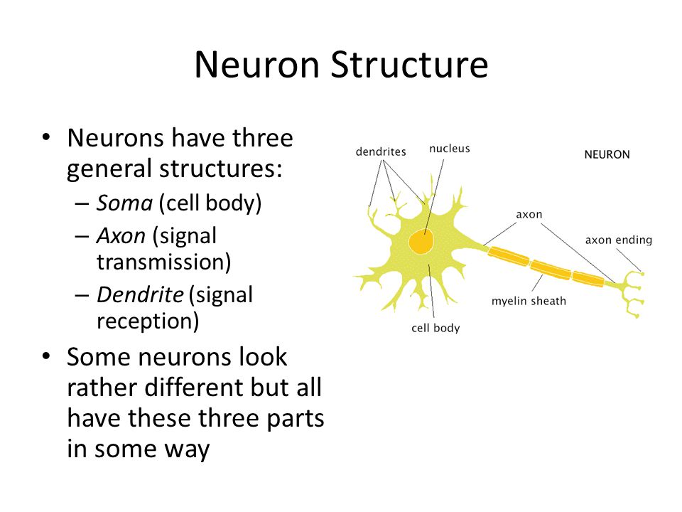 Neuron Structure Neurons have three general structures: – Soma (cell body) – Axon (signal transmission) – Dendrite (signal reception) Some neurons loo