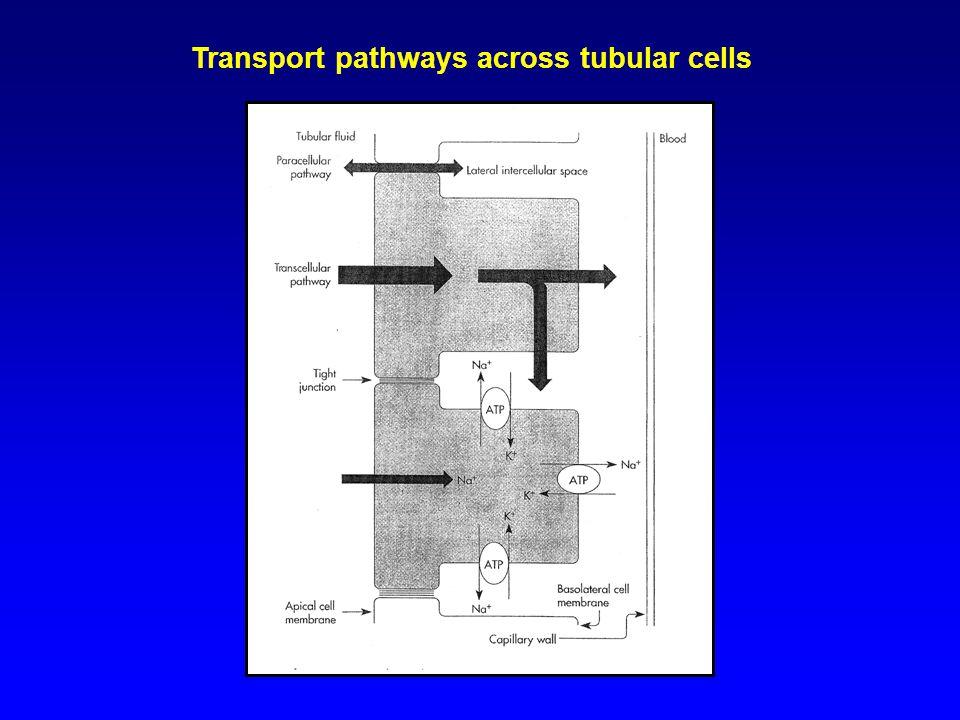 Transport pathways across tubular cells