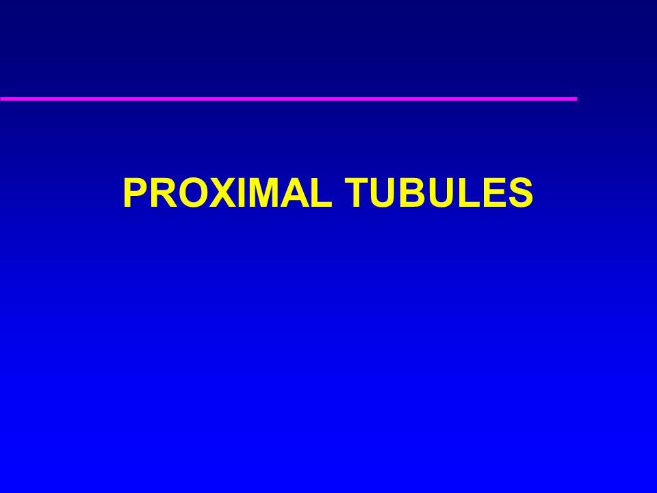 PROXIMAL TUBULES
