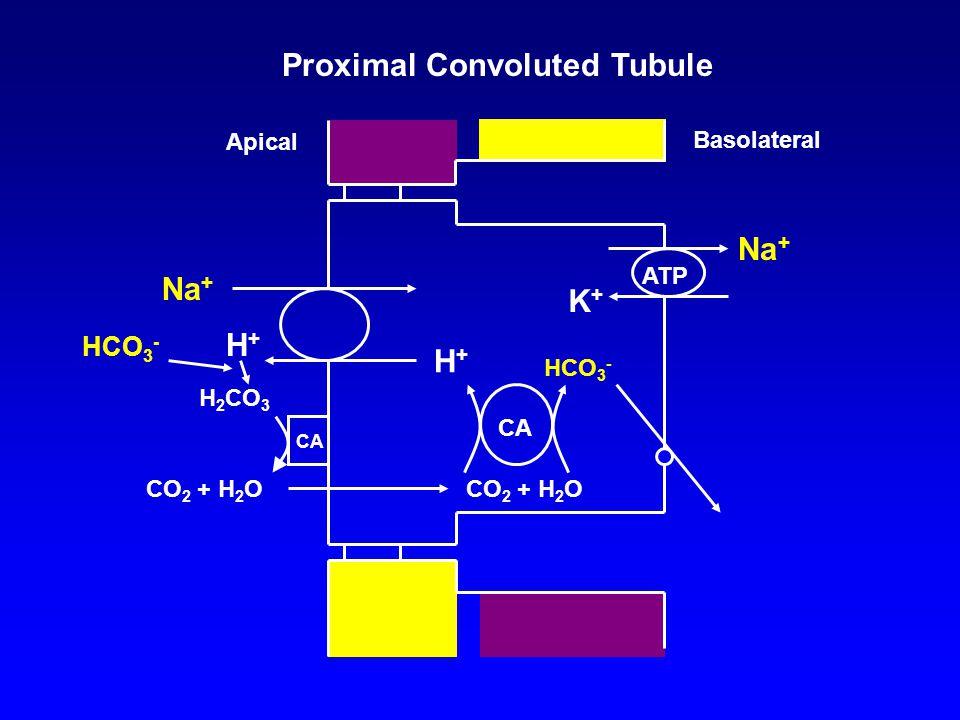 K+K+ ATP Na + Basolateral Apical CA HCO 3 - CO 2 + H 2 O H+H+ Proximal Convoluted Tubule CA H+H+ HCO 3 - H 2 CO 3 CO 2 + H 2 O