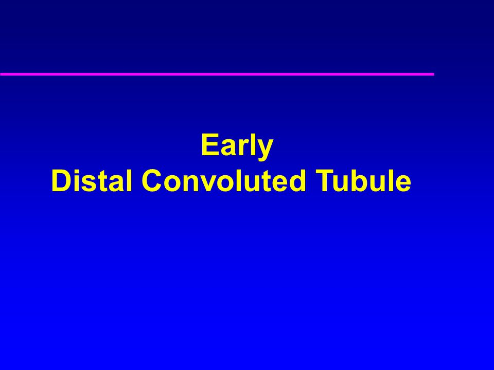 Early Distal Convoluted Tubule