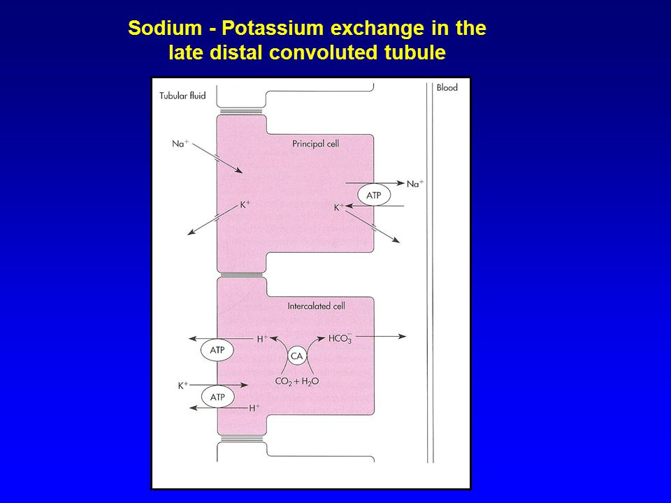 Sodium - Potassium exchange in the late distal convoluted tubule