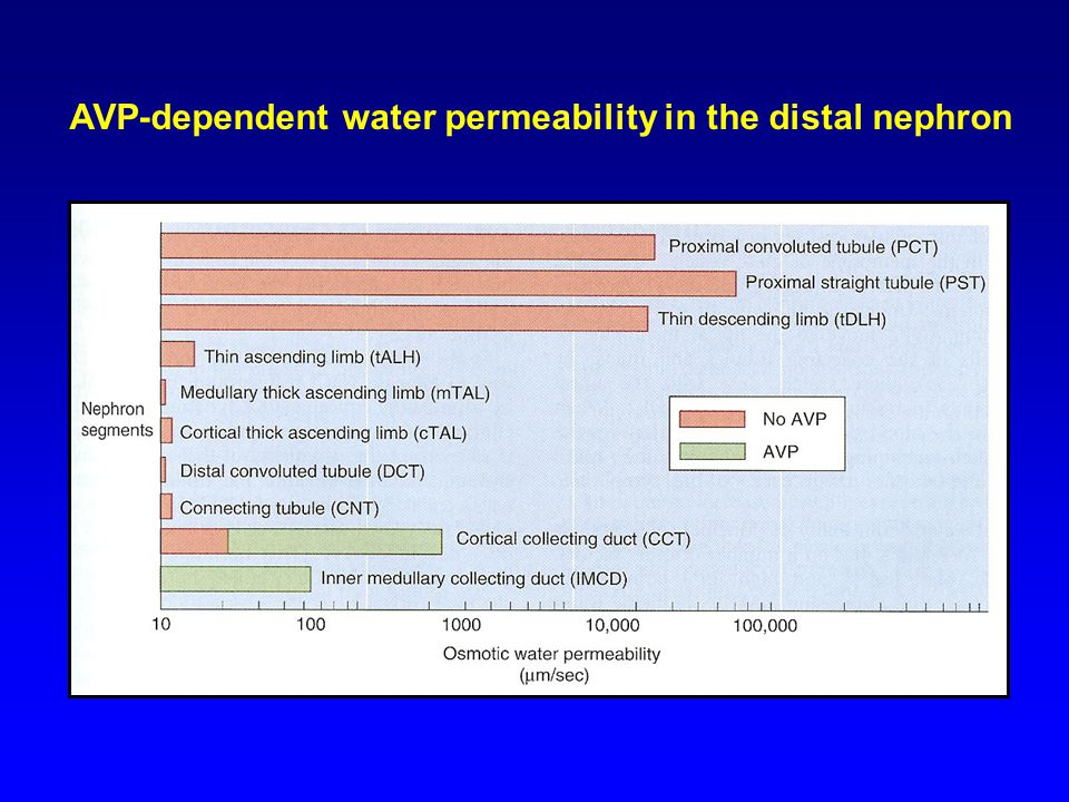 AVP-dependent water permeability in the distal nephron