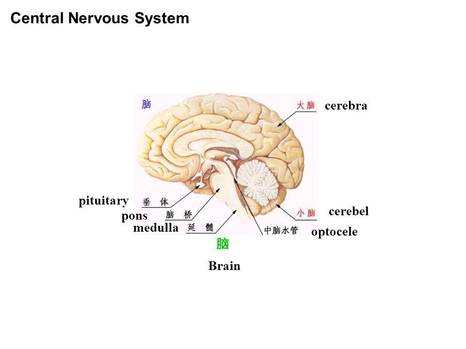 Central Nervous System 脑 cerebra cerebel optocele Brain medulla pons pituitary