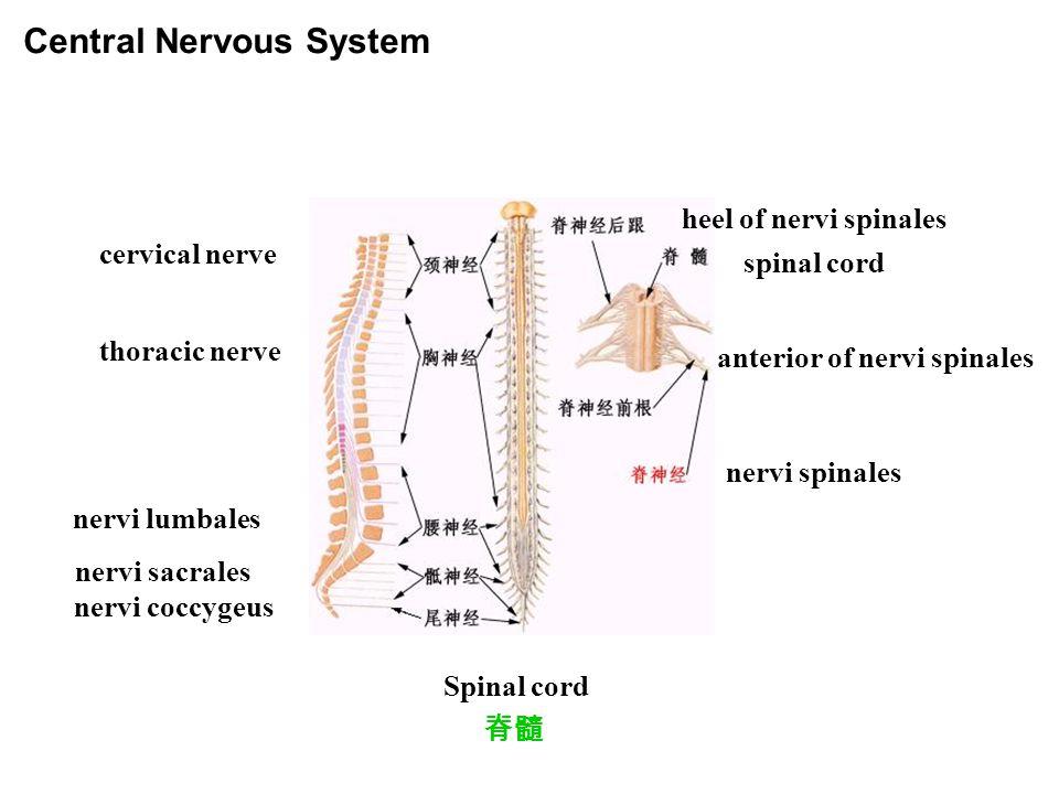 脊髓 Spinal cord Central Nervous System cervical nerve thoracic nerve nervi lumbales nervi sacrales nervi coccygeus heel of nervi spinales spinal cord anterior of nervi spinales nervi spinales