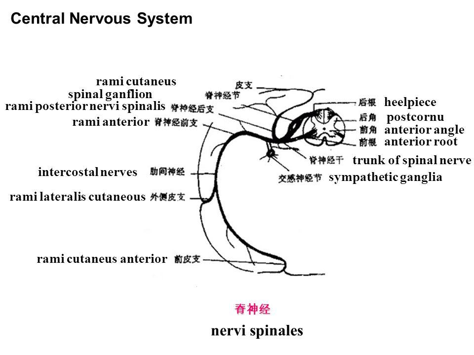 脊神经 nervi spinales rami cutaneus spinal ganflion rami posterior nervi spinalis rami anterior intercostal nerves rami lateralis cutaneous rami cutaneus anterior heelpiece postcornu anterior angle anterior root trunk of spinal nerve sympathetic ganglia Central Nervous System