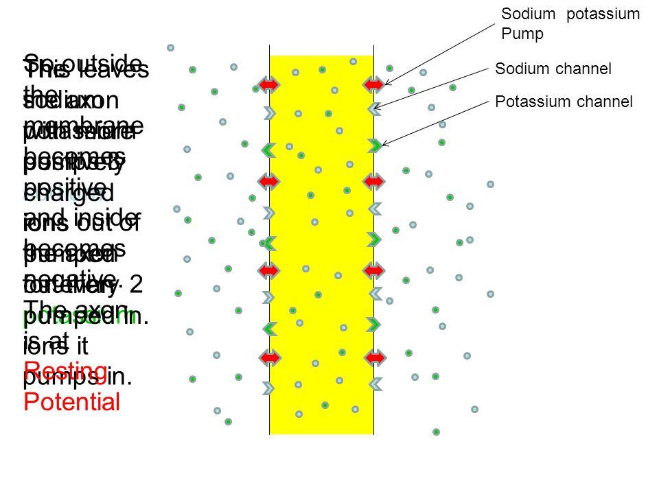 Sodium potassium Pump Sodium channel Potassium channel The sodium potassium pumps 3 sodium ions out of the axon for every 2 potassium ions it pumps in