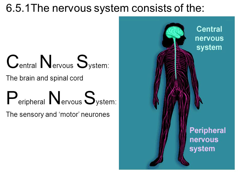 6.5.1The nervous system consists of the: C entral N ervous S ystem: The brain and spinal cord P eripheral N ervous S ystem: The sensory and 'motor' ne