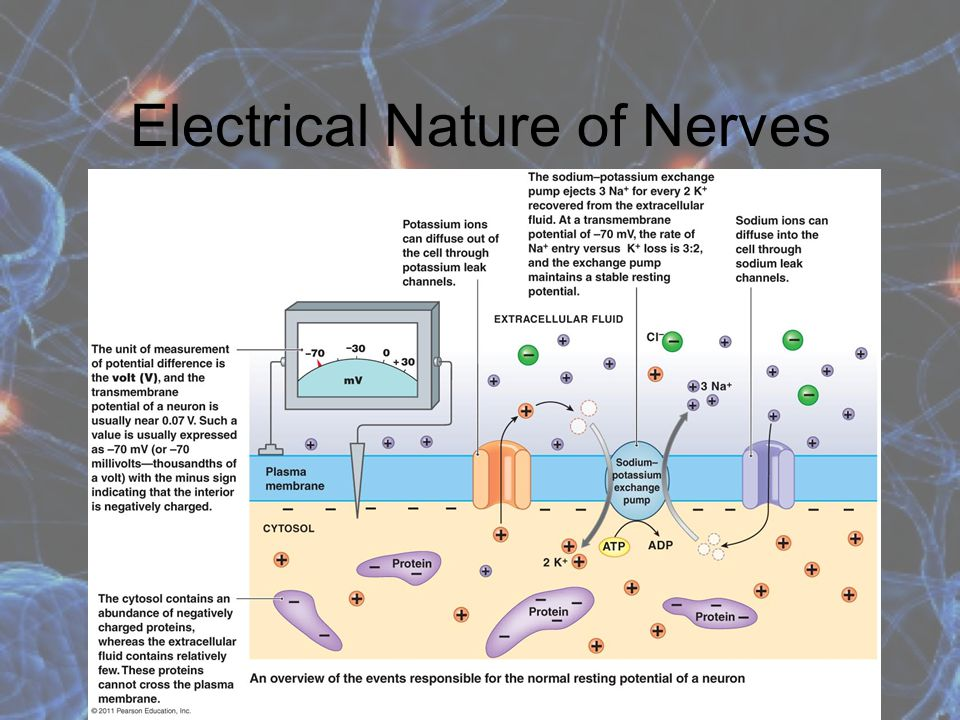 Electrical Nature of Nerves Neurons use electrical signals to communicate with other neurons, muscles and glands. When microelectrodes are placed on e