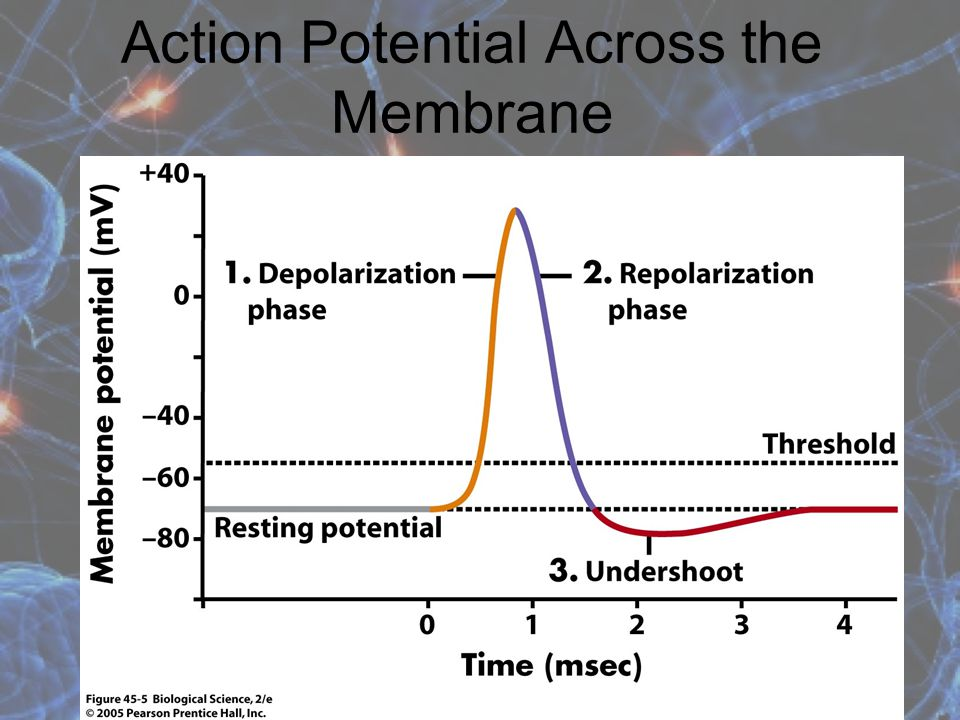 Action Potential A nerve cell is polarized because it has a negative charge. It will depolarize during an action potential because the inside becomes
