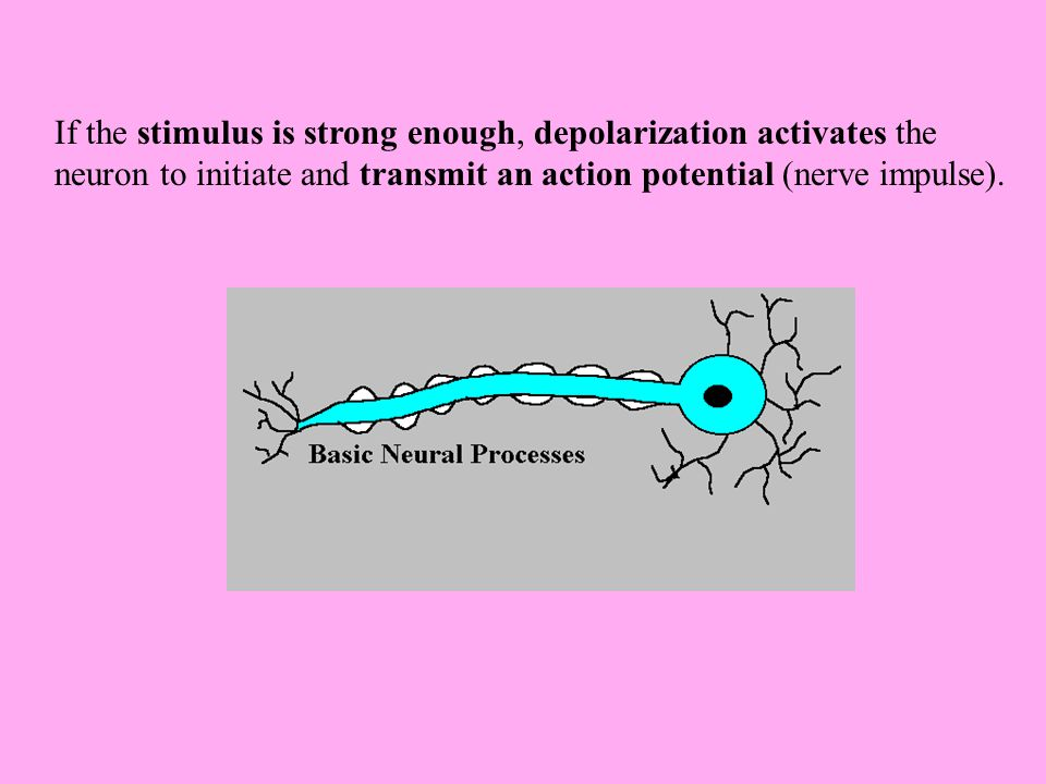 If the stimulus is strong enough, depolarization activates the neuron to initiate and transmit an action potential (nerve impulse).