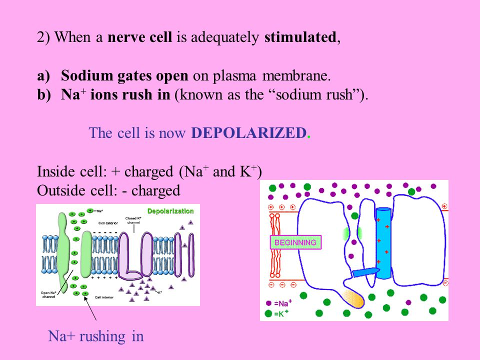2) When a nerve cell is adequately stimulated, a)Sodium gates open on plasma membrane.