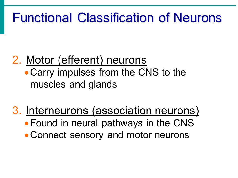 Functional Classification of Neurons 2.Motor (efferent) neurons  Carry impulses from the CNS to the muscles and glands 3.Interneurons (association ne