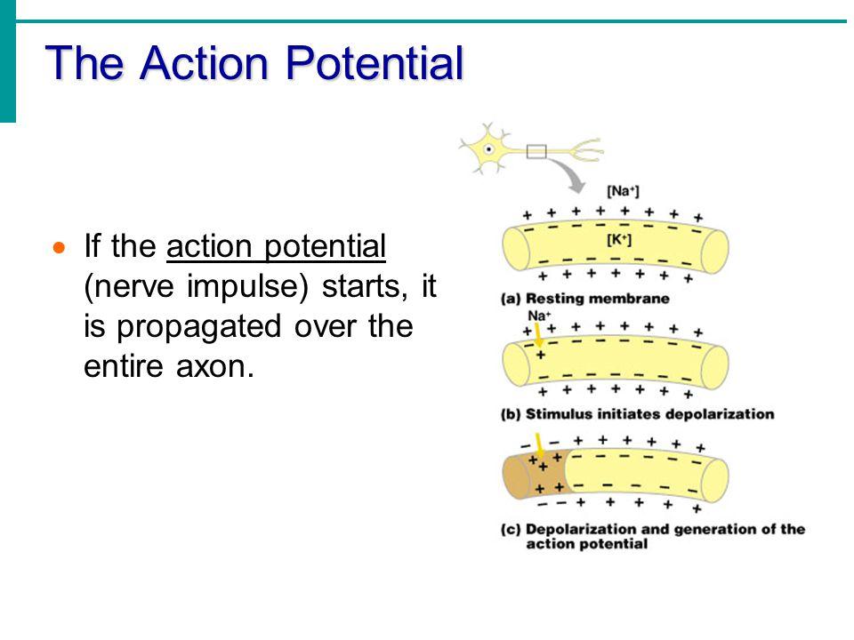 The Action Potential  If the action potential (nerve impulse) starts, it is propagated over the entire axon.