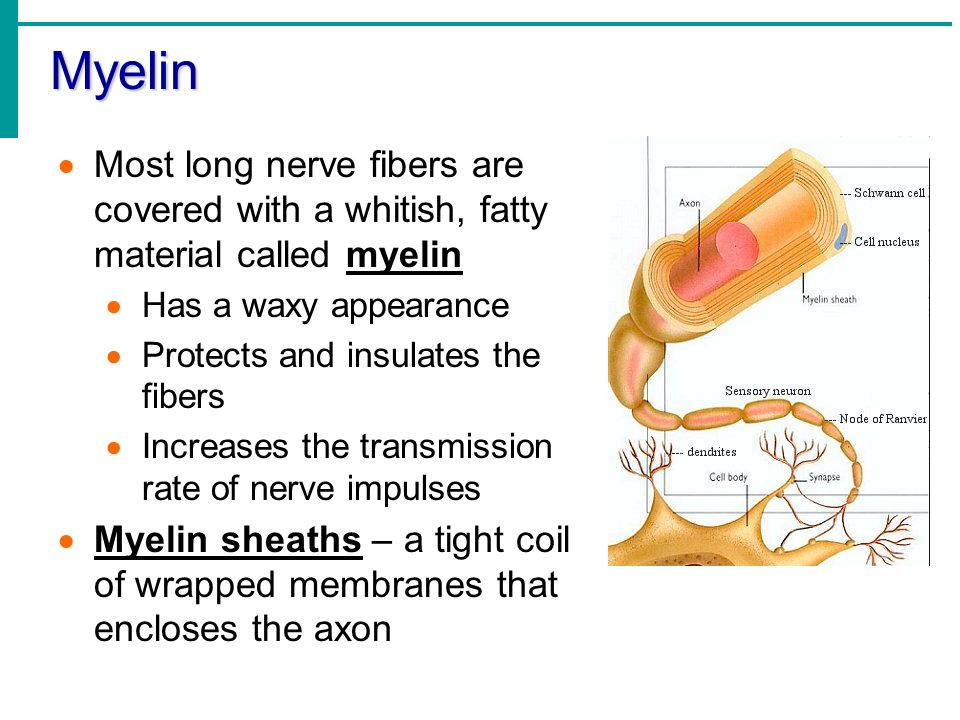 Myelin  Most long nerve fibers are covered with a whitish, fatty material called myelin  Has a waxy appearance  Protects and insulates the fibers 
