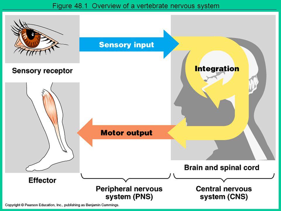 Figure 48.1 Overview of a vertebrate nervous system