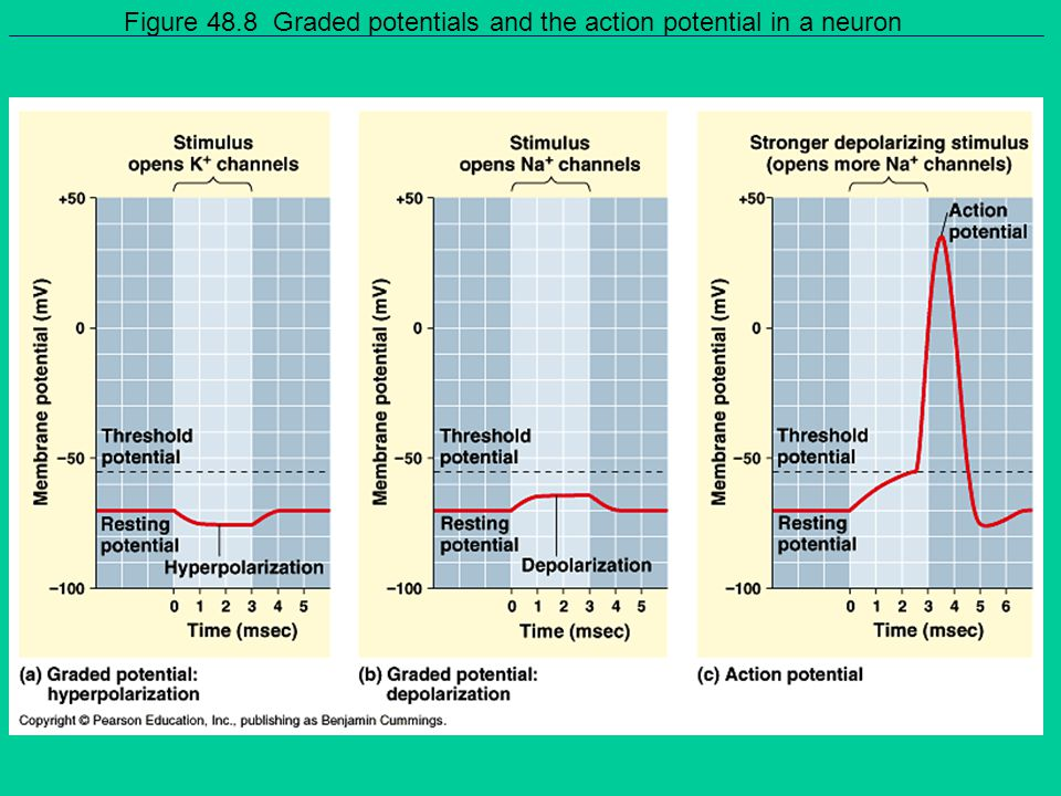 Figure 48.8 Graded potentials and the action potential in a neuron