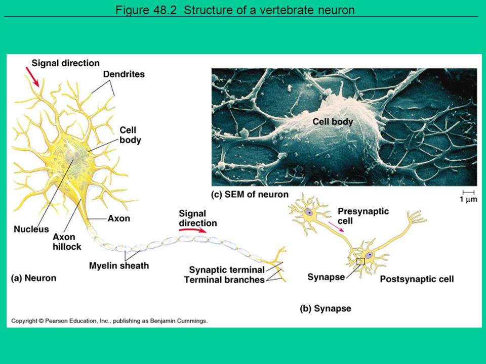 Figure 48.2 Structure of a vertebrate neuron