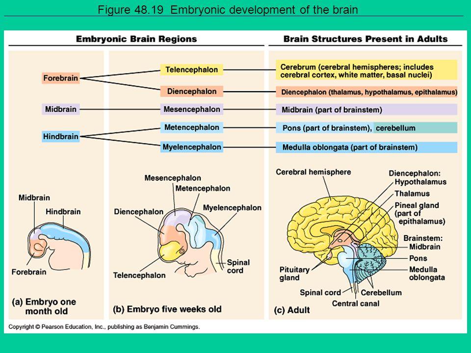 Figure 48.19 Embryonic development of the brain