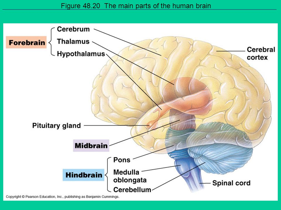 Figure 48.20 The main parts of the human brain
