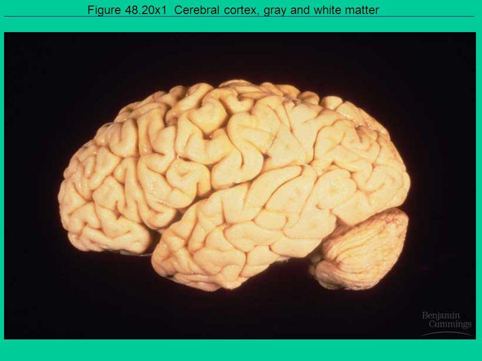 Figure 48.20x1 Cerebral cortex, gray and white matter