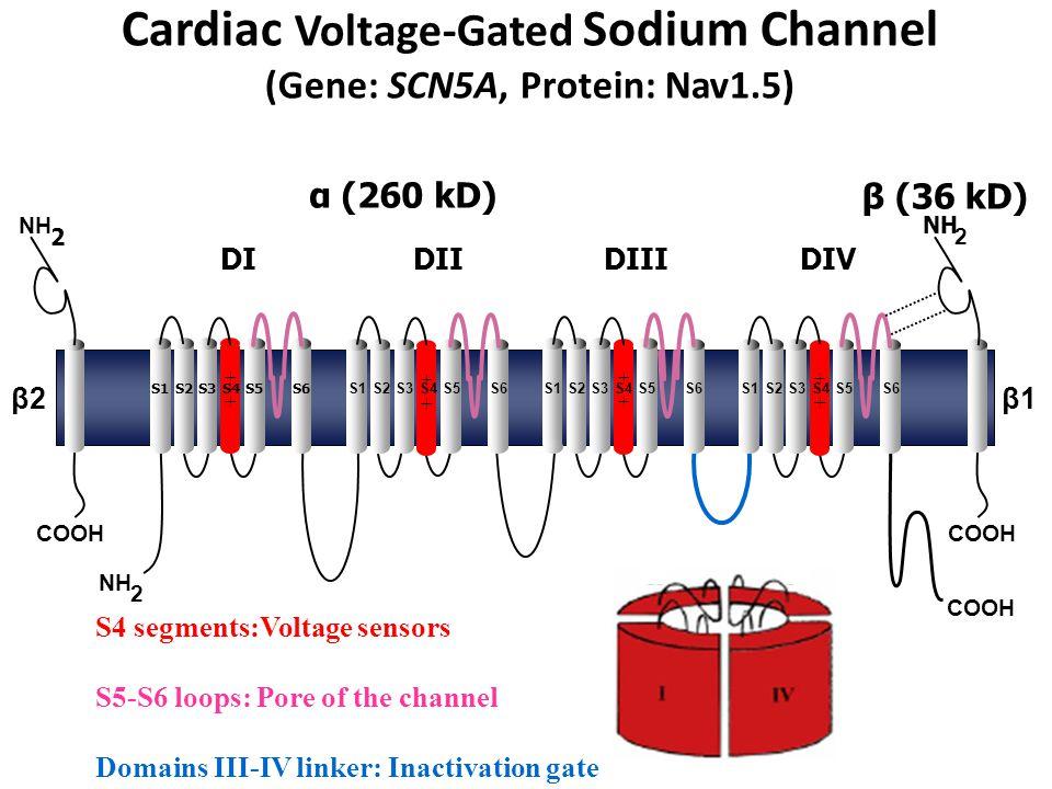 Cardiac Voltage-Gated Sodium Channel (Gene: SCN5A, Protein: Nav1.5) α (260 kD) NH 2 COOH ++++ ++++ ++++ ++++ NH 2 2 DIDIIDIIIDIV β2β2β1β1 β (36 kD) S1