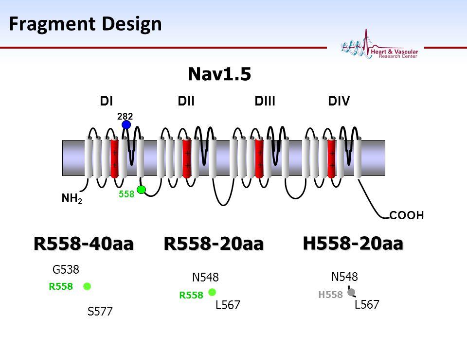 Fragment Design COOH NH 2 ++++ ++++ ++++ ++++ 282 558 N548 L567 R558R558-20aa G538 S577 R558R558-40aa DI DII DIII DIV Nav1.5 N548 L567 H558H558-20aa