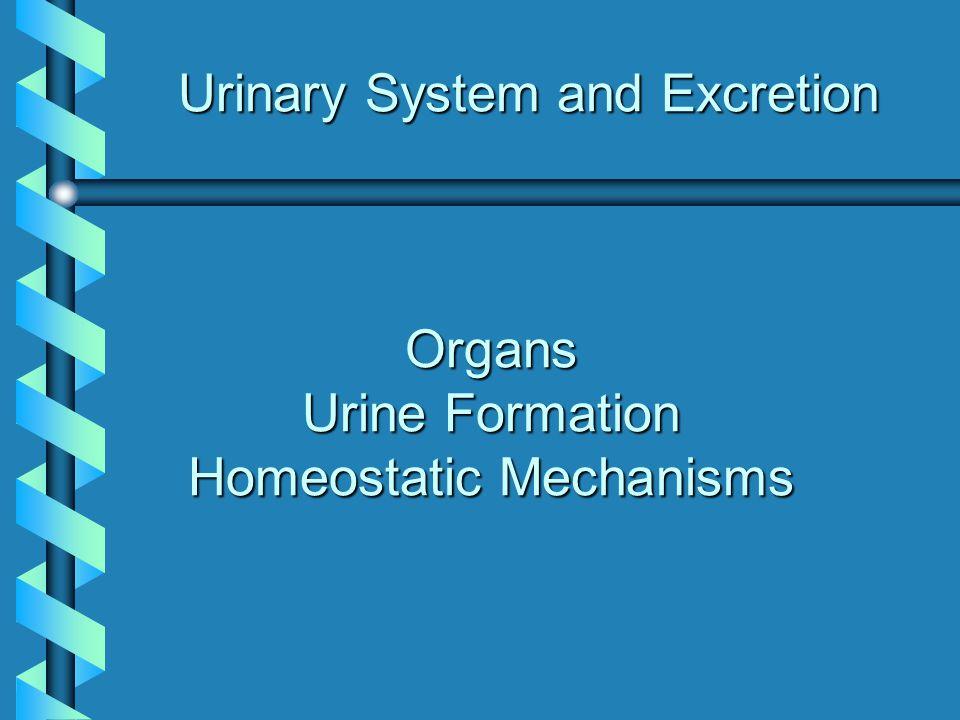 Path of Urine through the Urinary System Kidneys produce urine Urinary bladder stores urine Urethra passes urine to outside Ureters transport urine