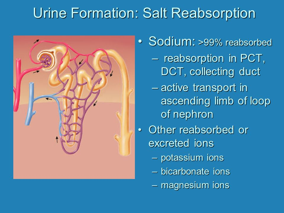 Urine Formation: Salt Reabsorption Sodium: >99% reabsorbedSodium: >99% reabsorbed – reabsorption in PCT, DCT, collecting duct –active transport in ascending limb of loop of nephron Other reabsorbed or excreted ionsOther reabsorbed or excreted ions –potassium ions –bicarbonate ions –magnesium ions
