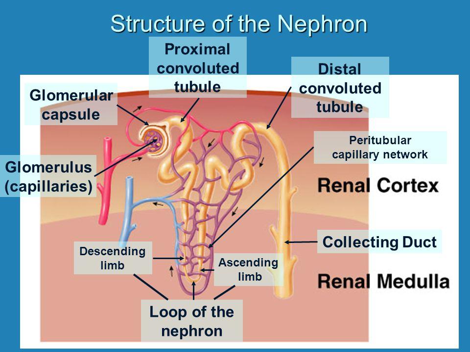 Structure of the Nephron Glomerular capsule Glomerulus (capillaries) Proximal convoluted tubule Descending limb Ascending limb Loop of the nephron Collecting Duct Peritubular capillary network Distal convoluted tubule