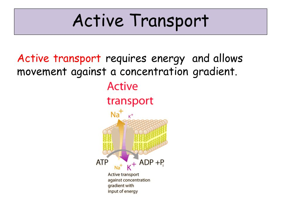 Active Transport Active transport requires energy and allows movement against a concentration gradient.