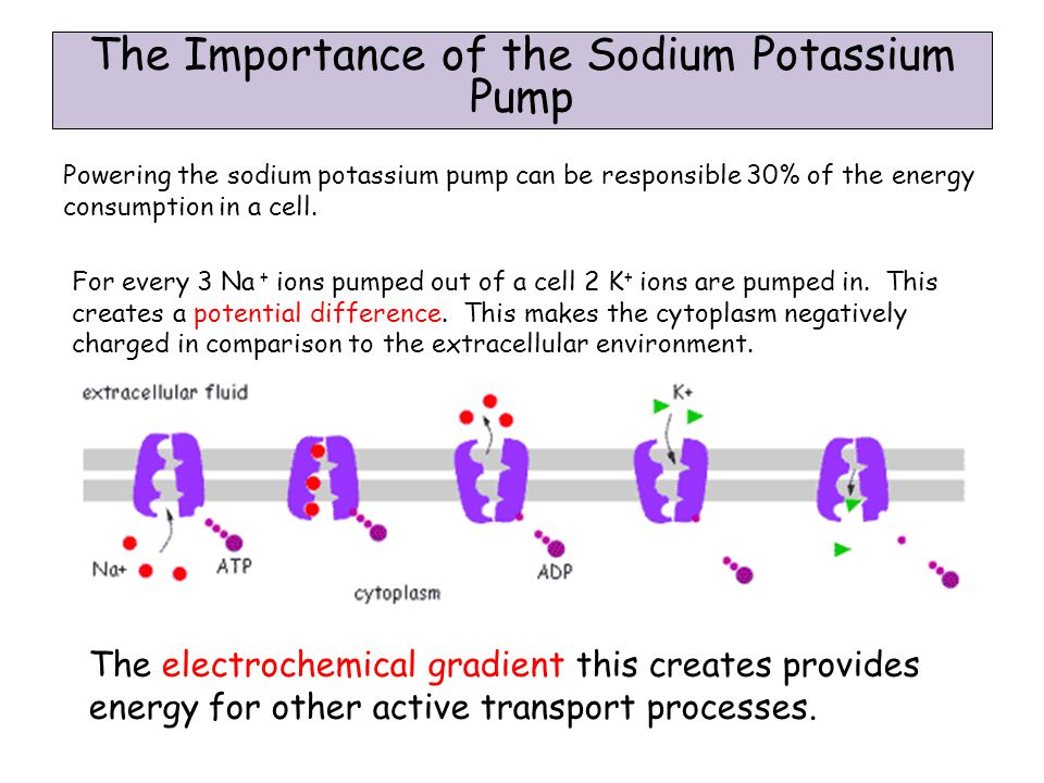 The Importance of the Sodium Potassium Pump Powering the sodium potassium pump can be responsible 30% of the energy consumption in a cell.