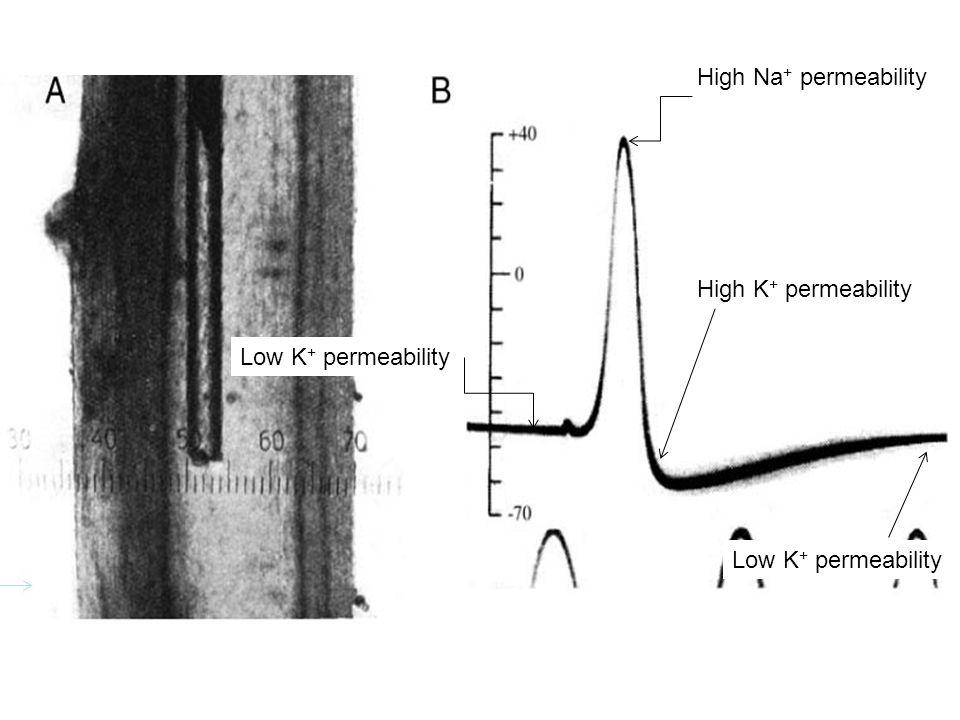 Low K + permeability High Na + permeability High K + permeability Low K + permeability