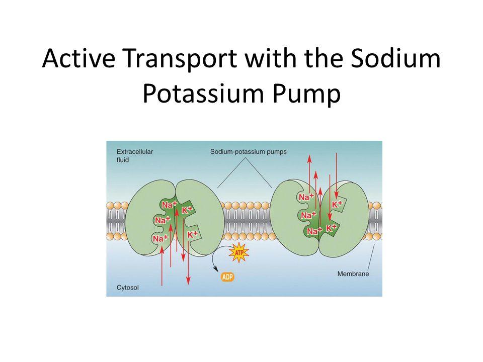 Active Transport with the Sodium Potassium Pump